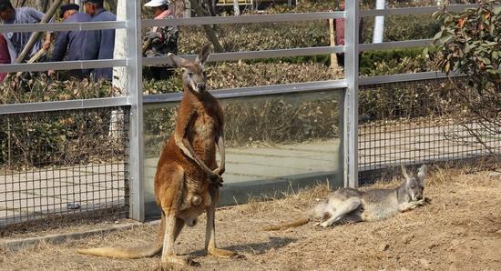 临沂动植物园又添新丁——澳洲大袋鼠